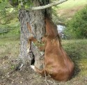Horse Stuck in a Tree Fail
