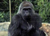 Gorilla with an Attitude