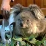 Sam the Koala Rescued After Australian Bush Fires
